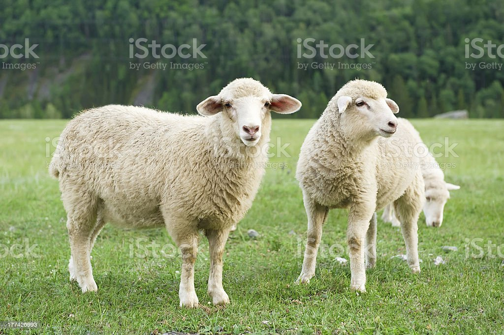 Sheeps on a meadow in the mountains stock photo