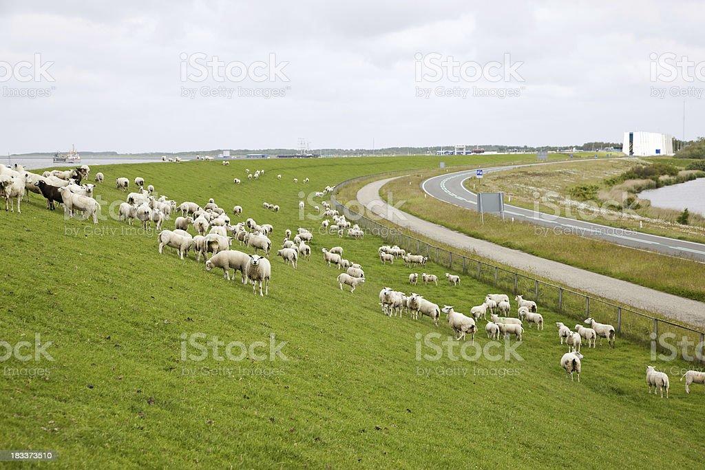 Sheeps on dyke # 5 XXXL stock photo