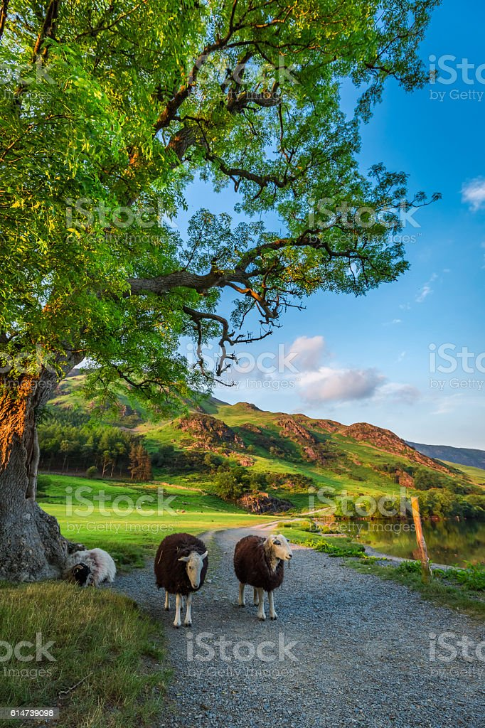 Sheeps on footpath at sunset in the Lake District, England stock photo