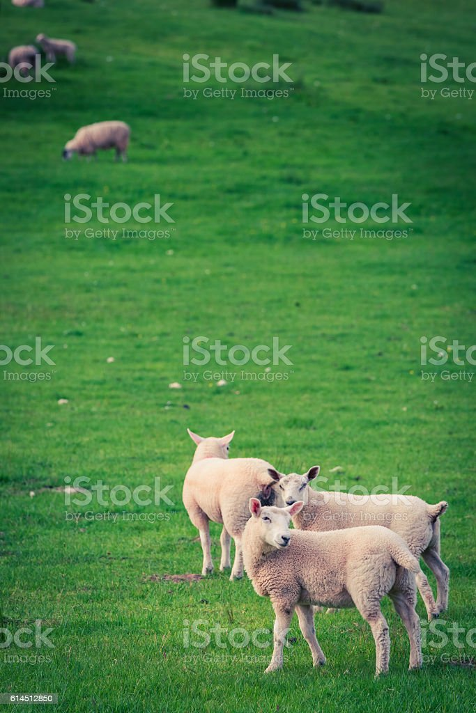 Sheeps on green pasture in District Lake stock photo