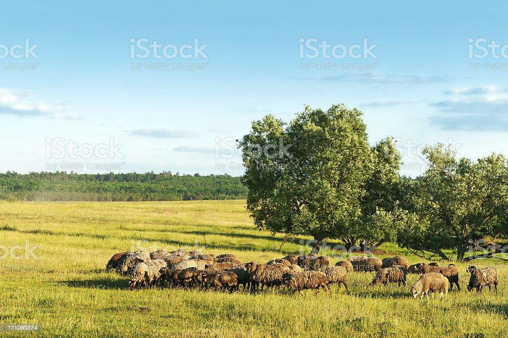 Sheeps on pasture royalty-free stock photo