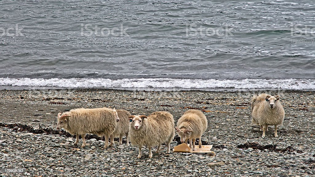 Sheeps on the beach in northern Iceland stock photo
