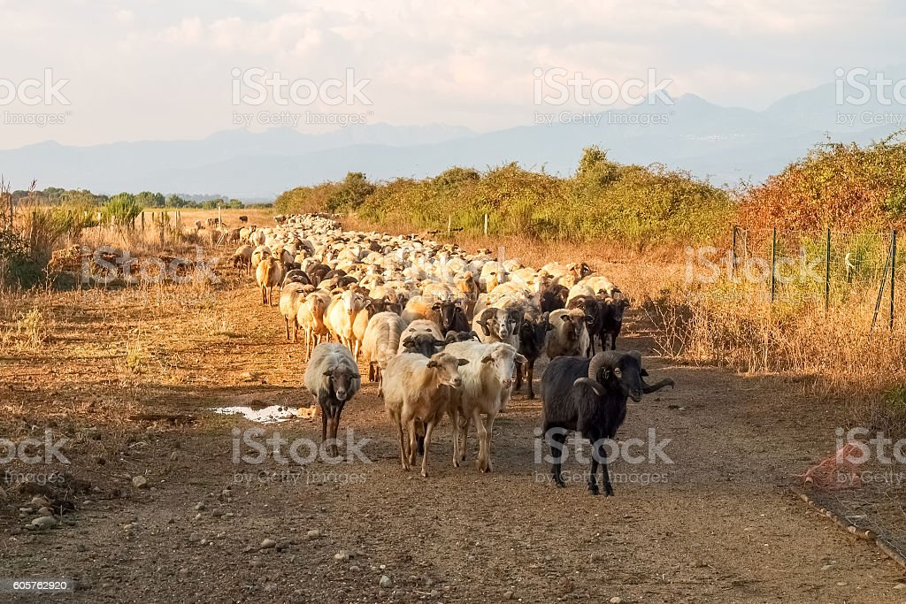 Sheeps on the farm. stock photo