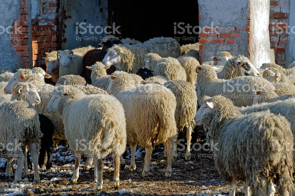 Sheeps on the farm stock photo