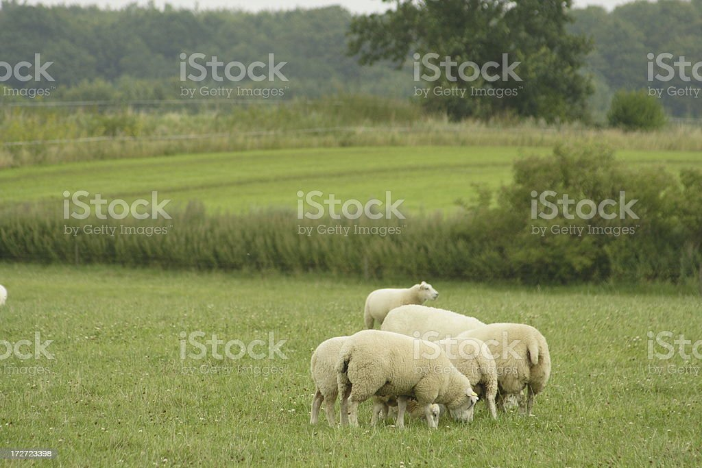 Sheeps on the meadow royalty-free stock photo