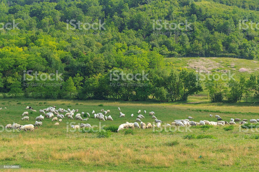 Sheeps on the meadow stock photo