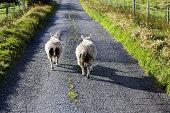 Sheeps on the road, Isle of Skye, Scotland