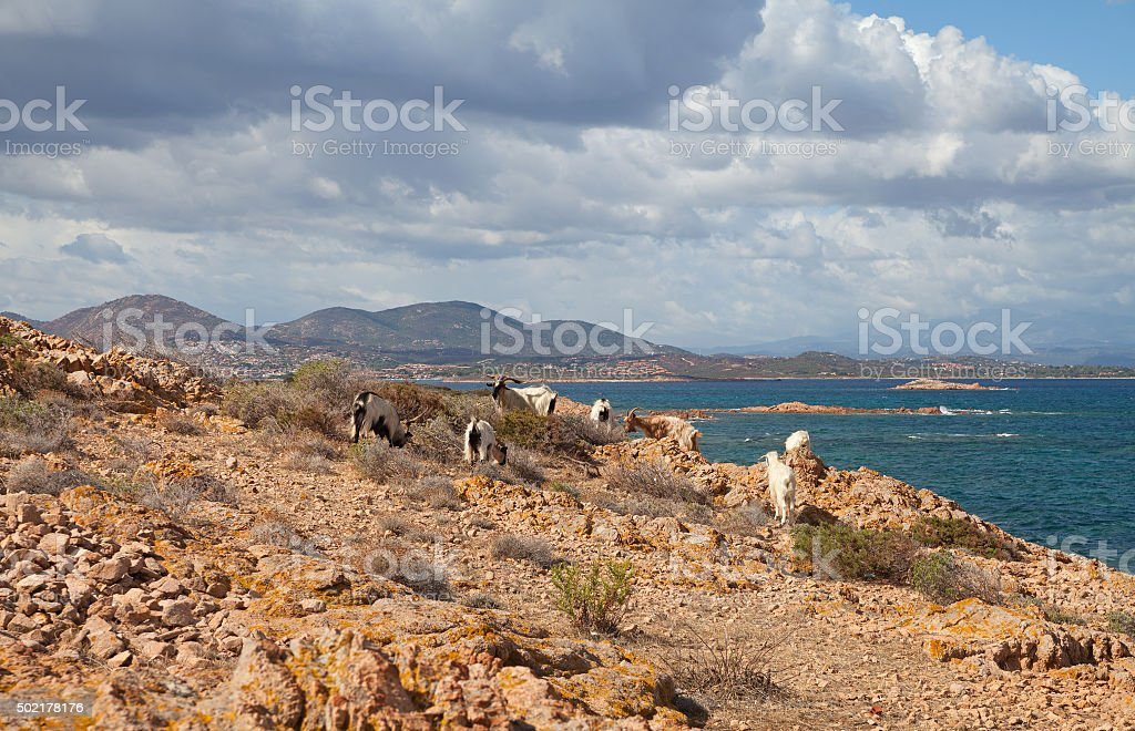 Sheeps on the rock. stock photo