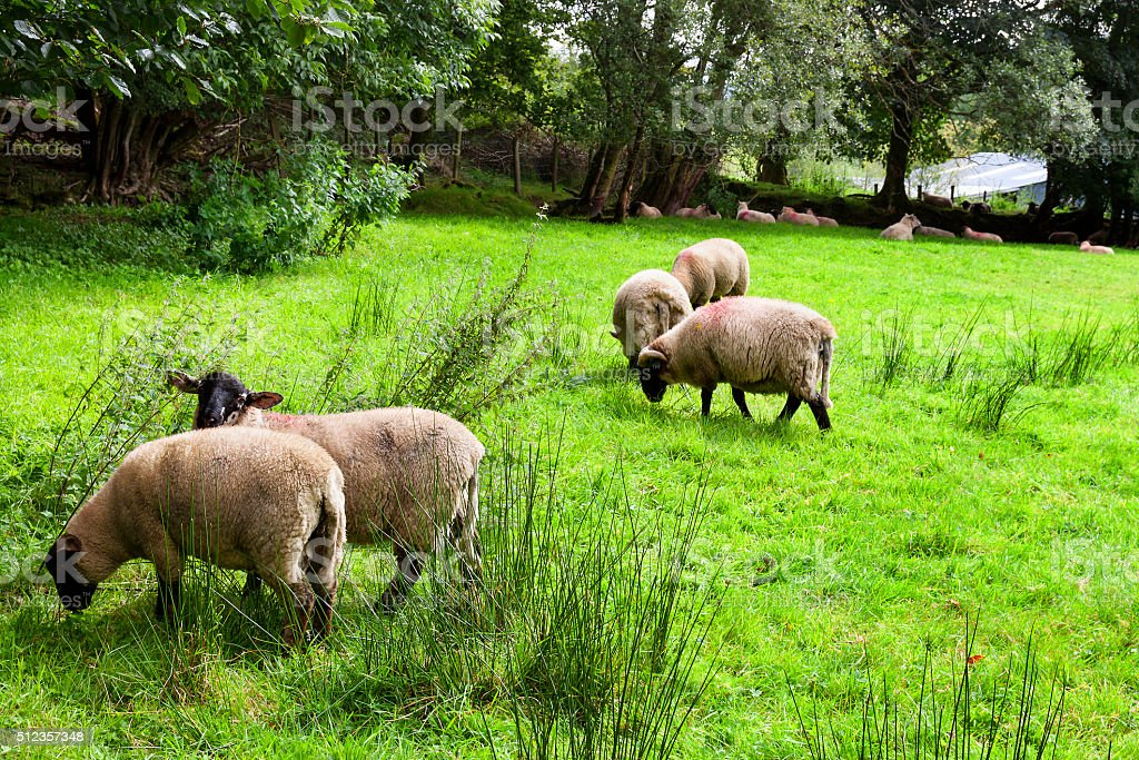 Sheeps onthe meadow stock photo