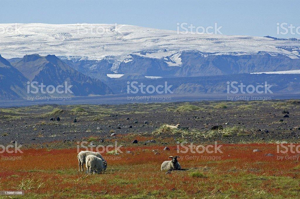 Sheeps resting stock photo