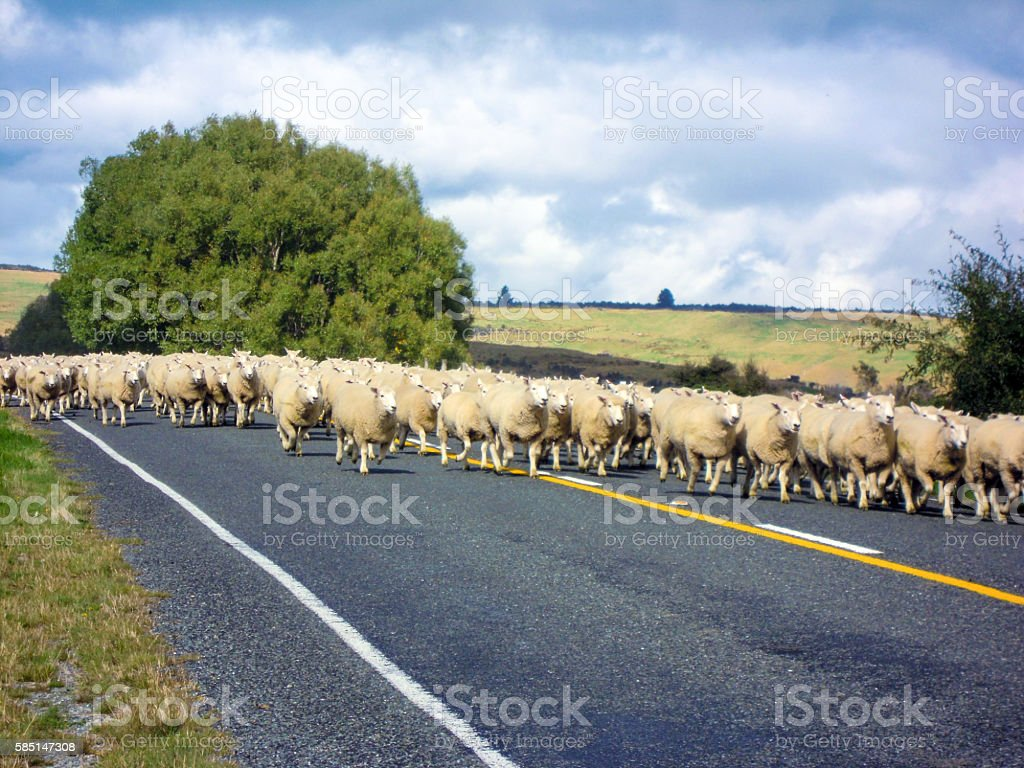 Sheeps running on the street stock photo