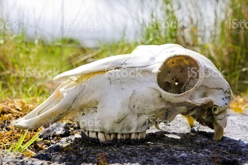 Sheep's Skull royalty-free stock photo