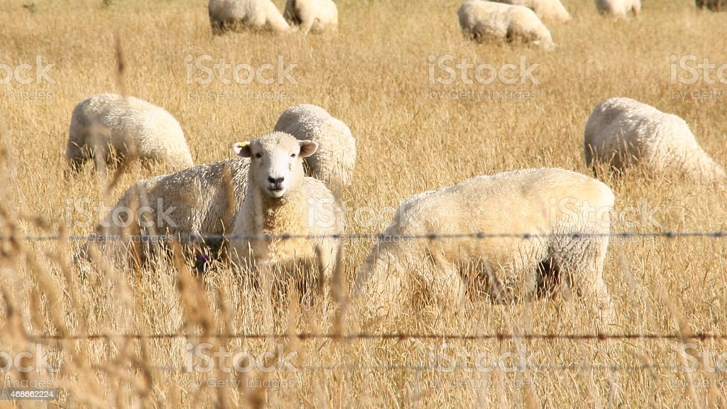 Sheeps standing in grass on a farm behind fence royalty-free stock photo