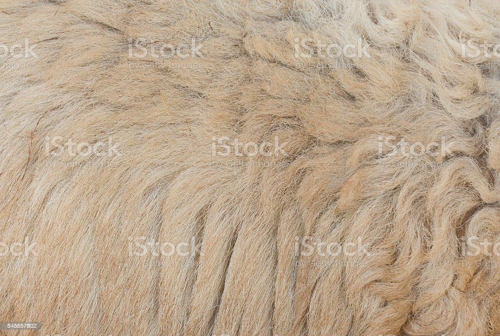 Sheep's wool is still on body stock photo