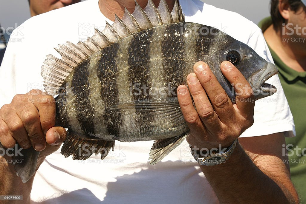 Sheepshead Fish Catch of the Day stock photo
