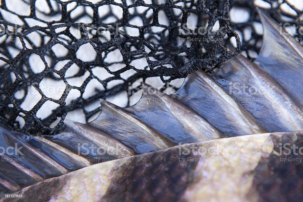 Sheepshead Fish Fin and net stock photo