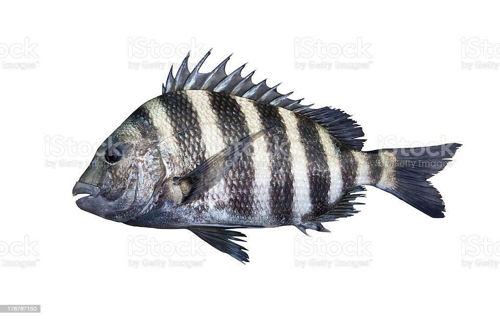 Sheepshead fish isolated on white stock photo