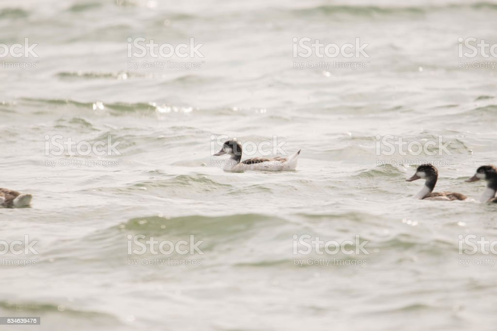 shelduck bird riding the waves stock photo