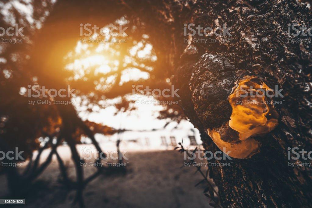 Shelf fungus on tree near beach stock photo