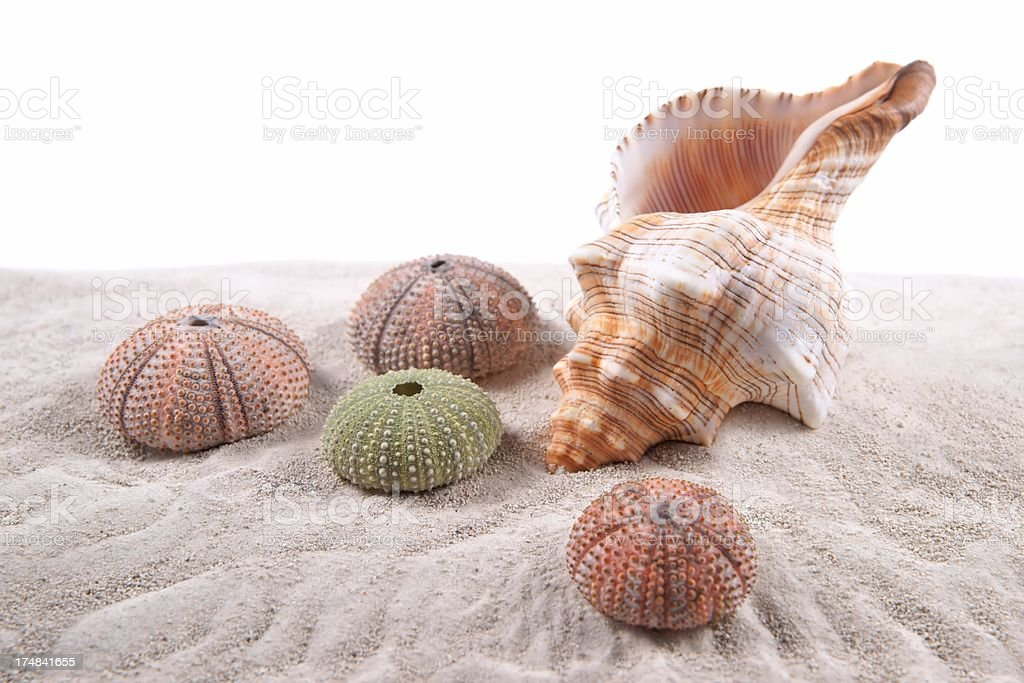 Shell and Dried Sea Urchins on the sand royalty-free stock photo