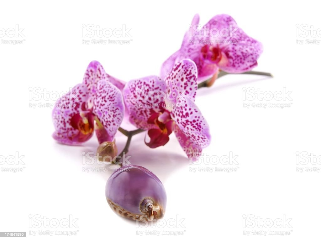 Shell and flowers Orchids (Phalaenopsis) on a white background royalty-free stock photo