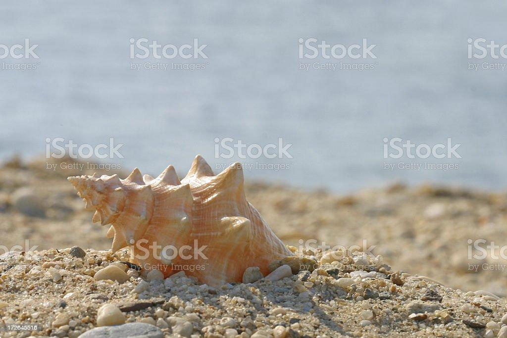 Shell at the Beach royalty-free stock photo