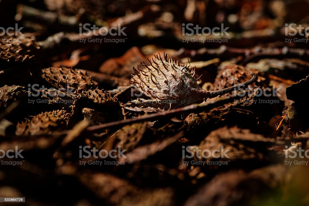 Shell from beech nut in forest stock photo