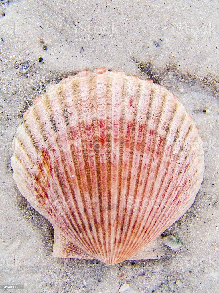 shell in sand stock photo