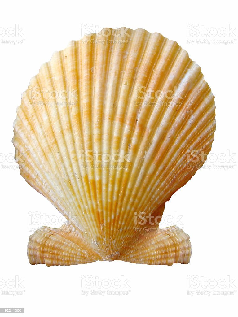 Shell - Isolated in White Background royalty-free stock photo