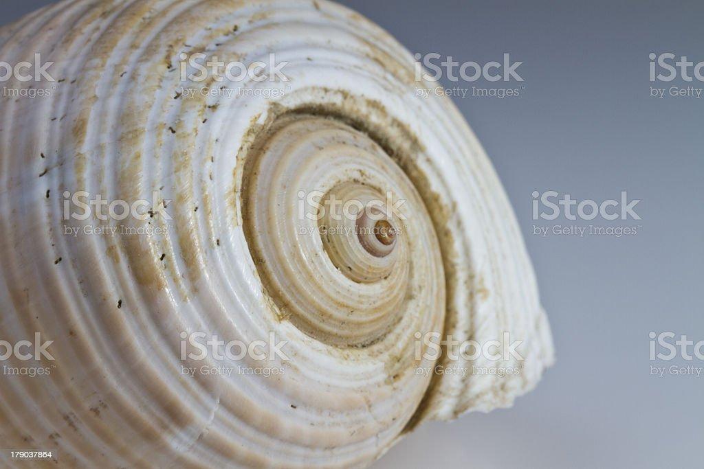 Shell royalty-free stock photo