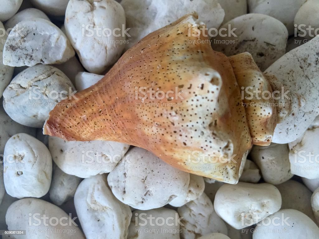 Shell royalty-free stock photo