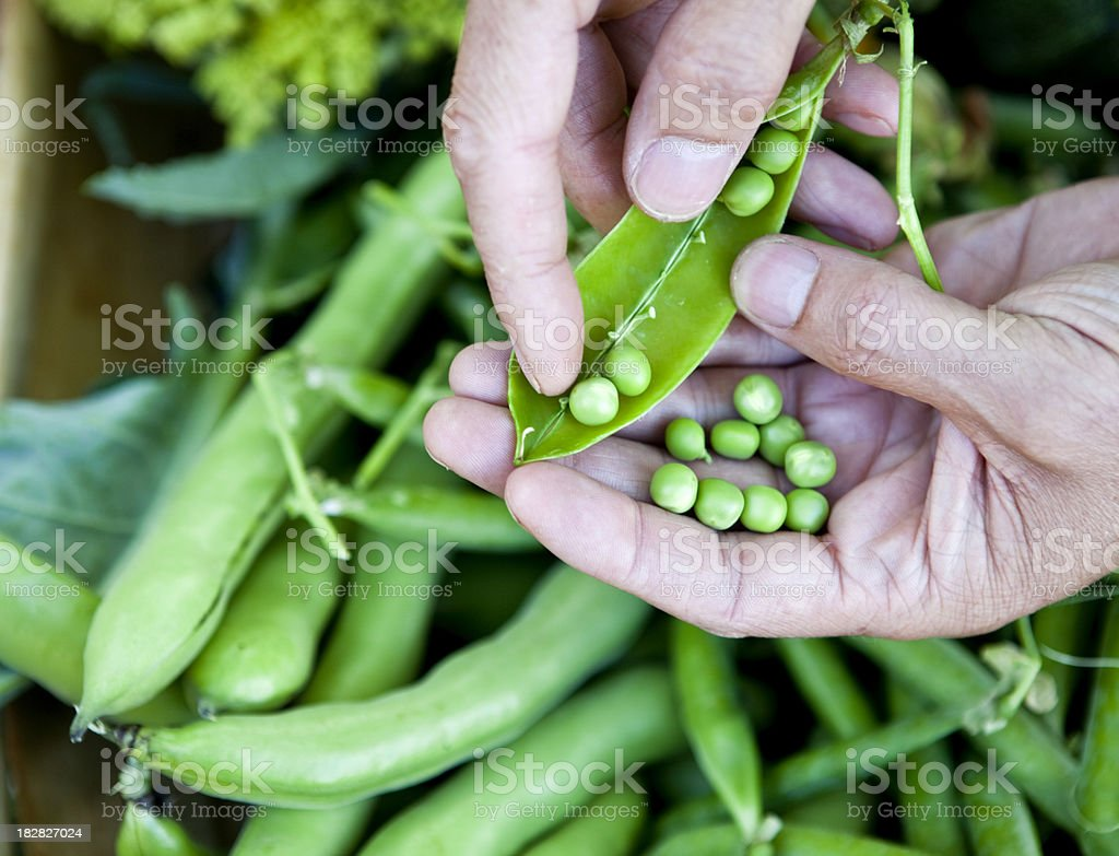 Shelling Fresh Organic Home Grown Peas royalty-free stock photo