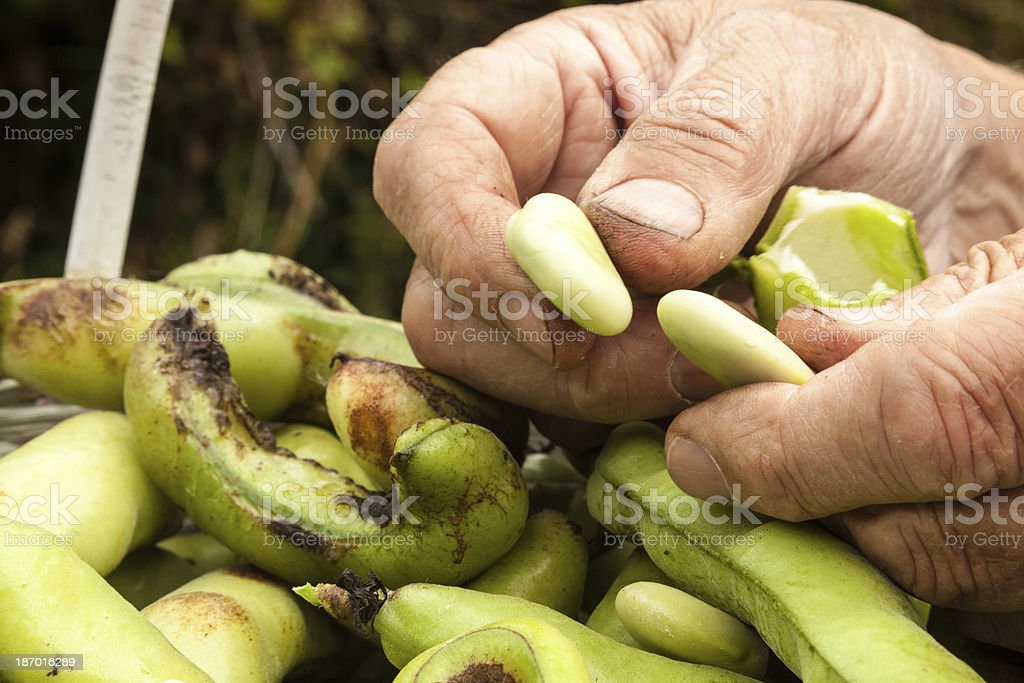 Shelling the Beans I royalty-free stock photo