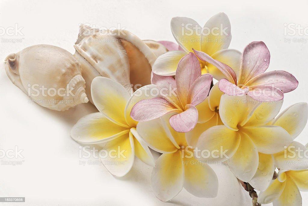 Shells and plumerias frangipani stock photo