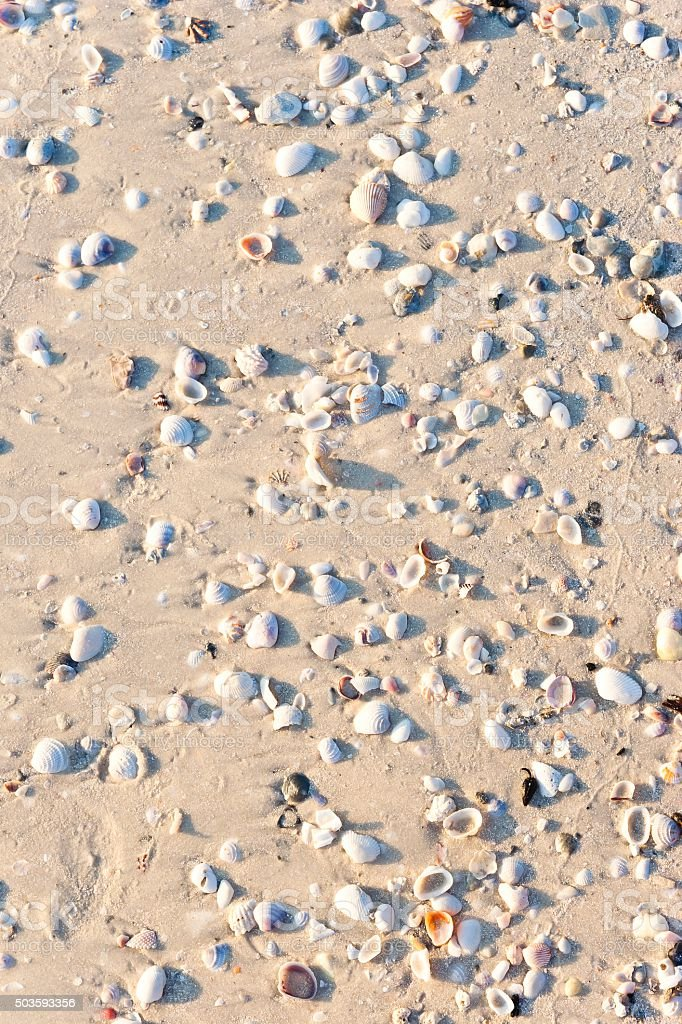 Shells on a Beach in Florida stock photo