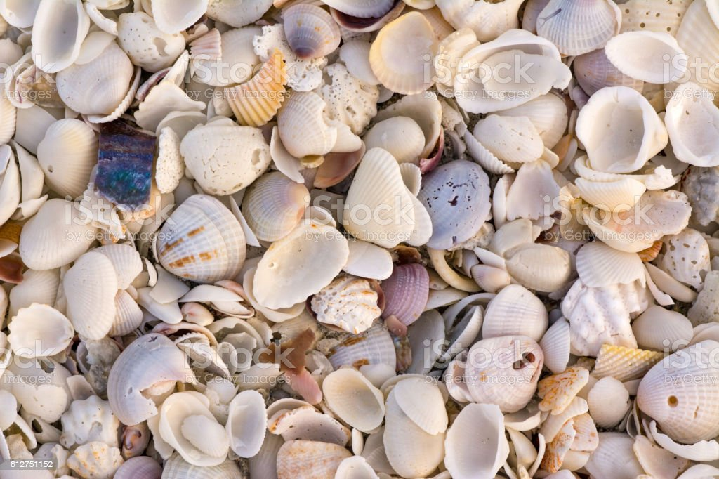 Shells on Sanibel stock photo