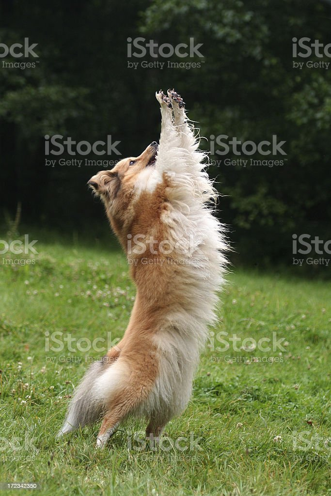 Sheltie does an animal trick. royalty-free stock photo