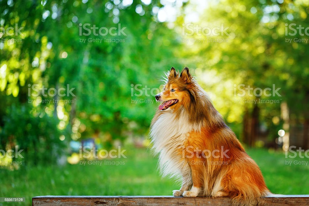 Sheltie dog for a walk in the park. stock photo