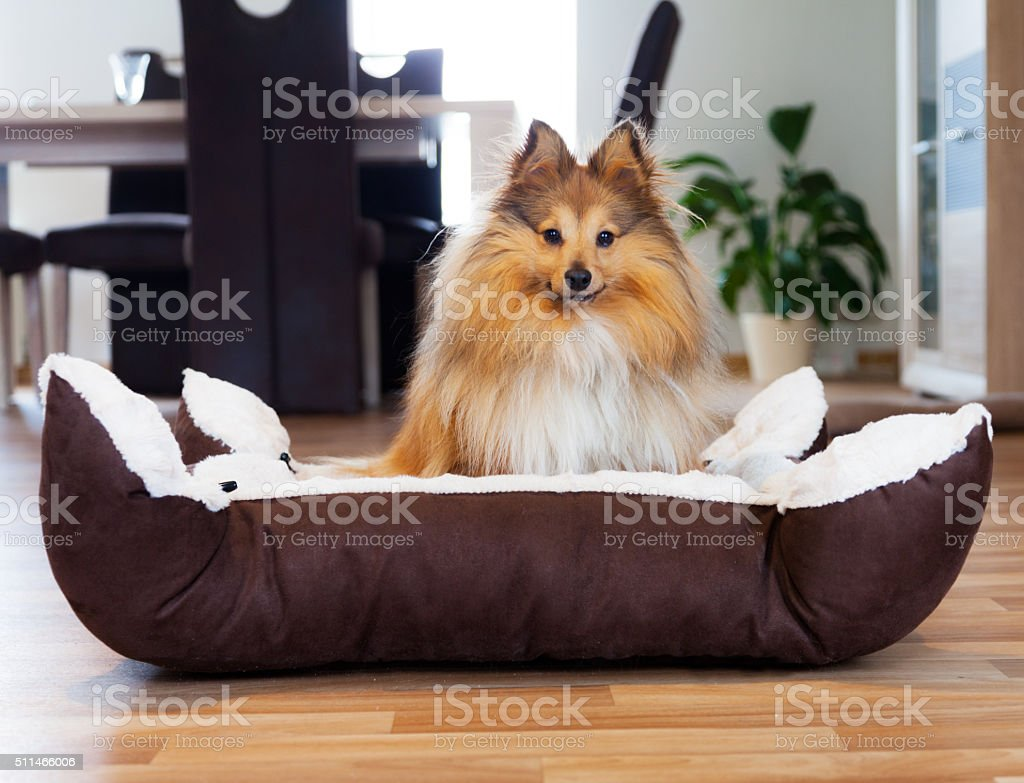 Sheltie Hund im Körbchen, dog in basket stock photo