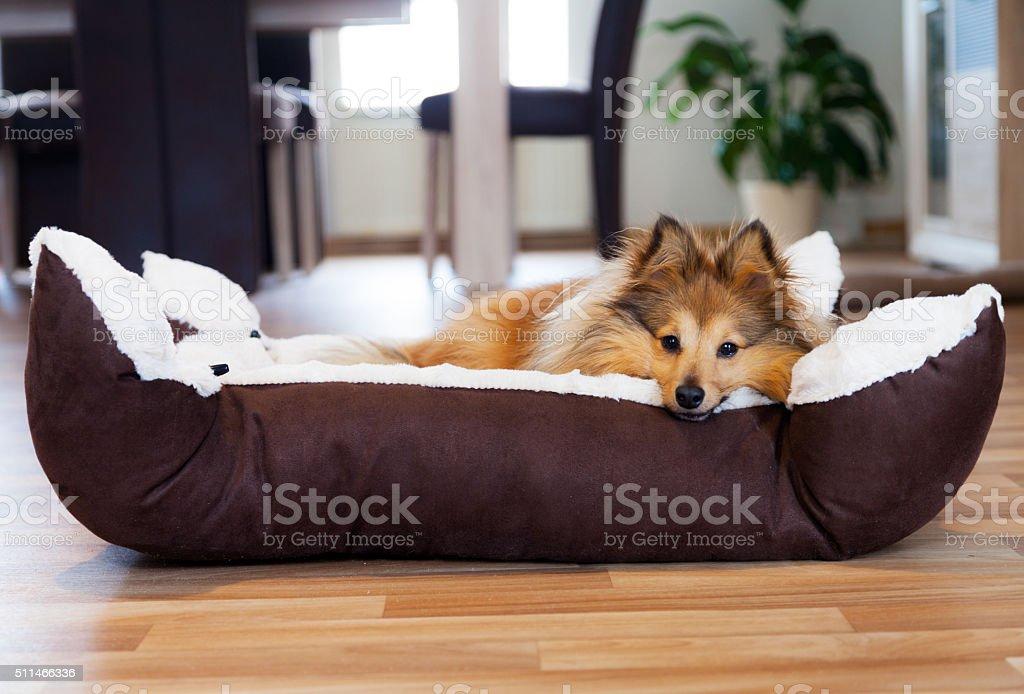 Sheltie Hund im Körbchen stock photo