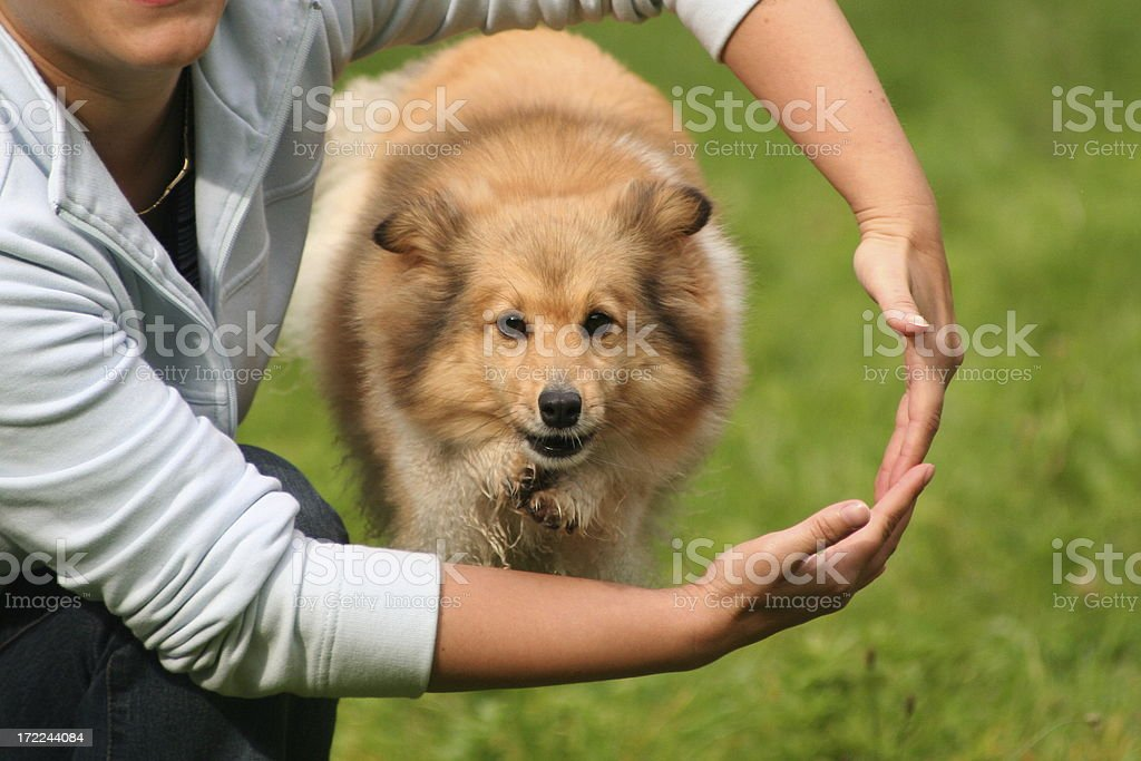 Sheltie is jumping through the arms. stock photo