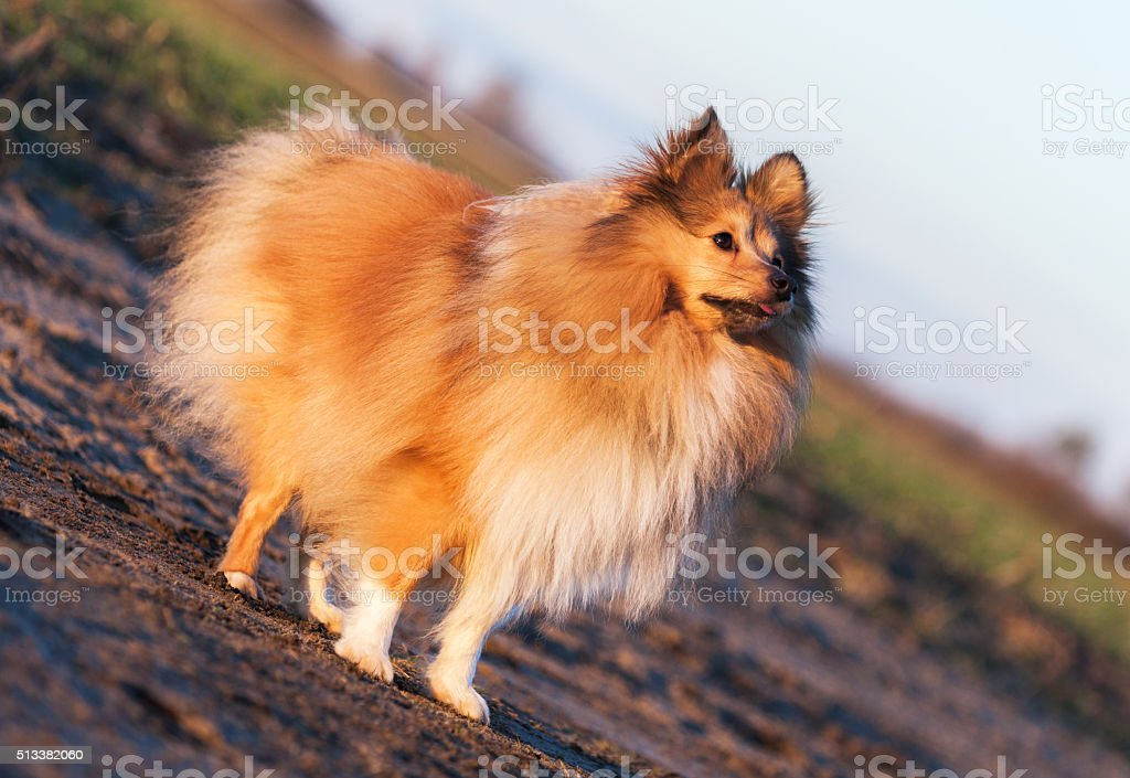 Sheltie is stock photo