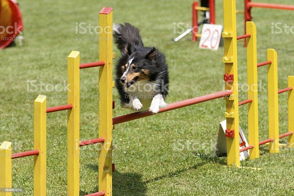 Sheltie jump royalty-free stock photo