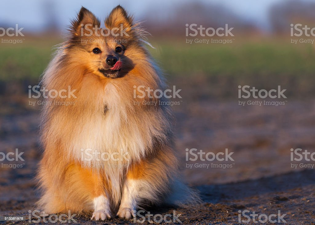 Sheltie licking his nose stock photo