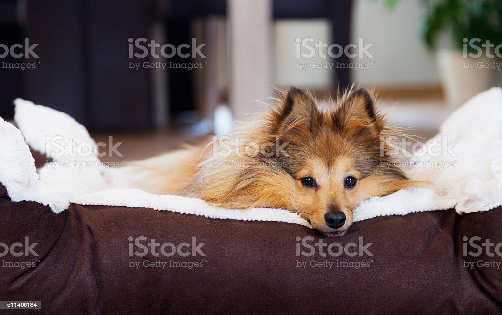 Sheltie liegt im Hundekörbchen stock photo