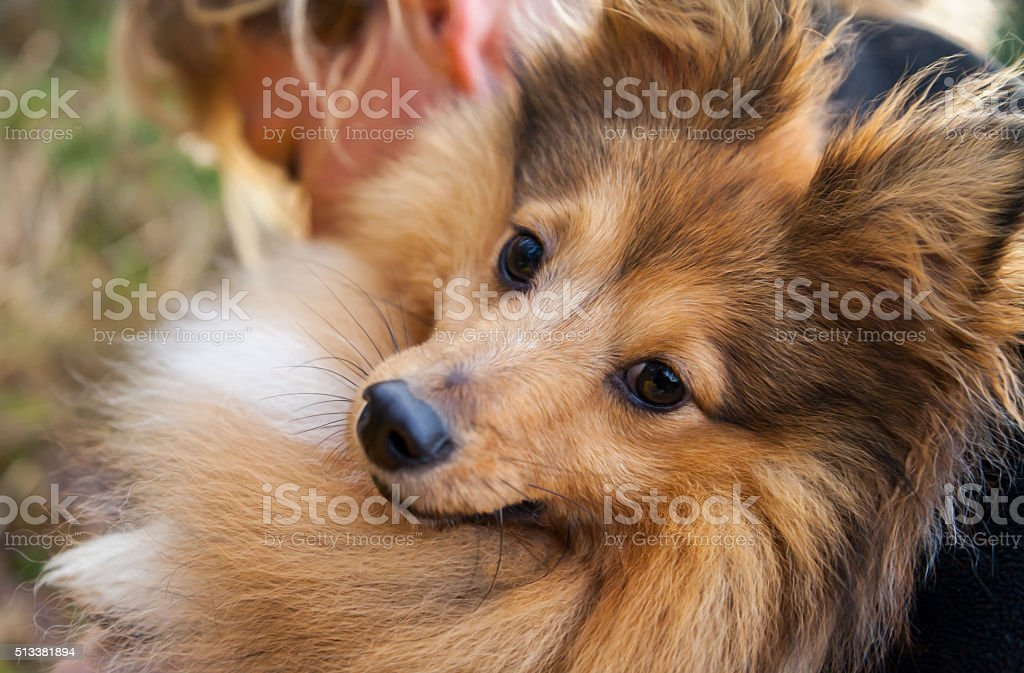 Sheltie looks stock photo