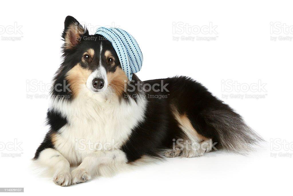 Sheltie (small collie dog) lying on white background stock photo
