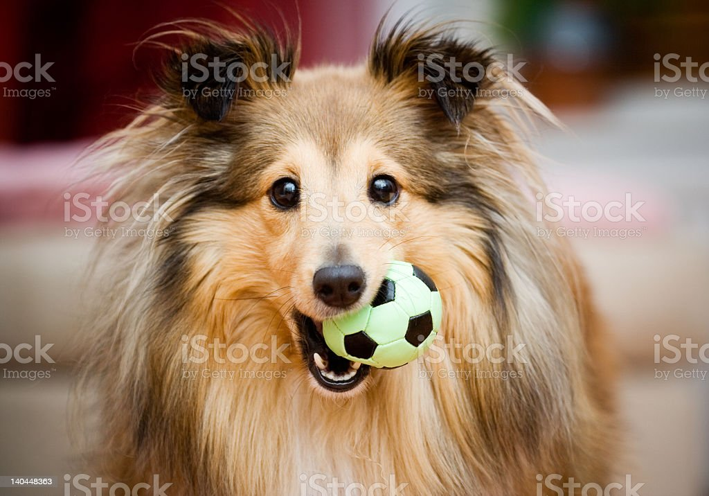 A Sheltie puppy playing with a small green and black ball stock photo
