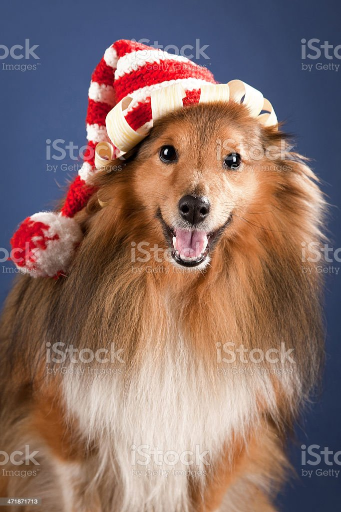 Sheltie with funny cap royalty-free stock photo