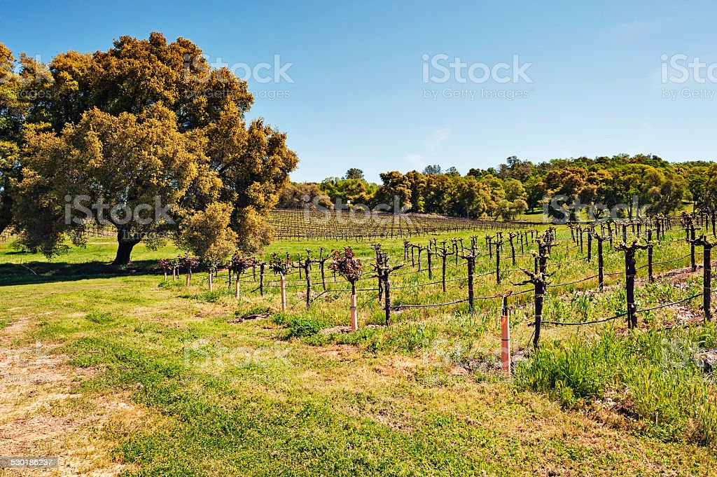 Shenandoah Valley Vineyard Plymouth California stock photo